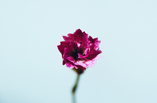 pink-923176_640